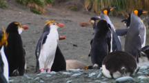 Royal Penguin (Eudyptes Schlegeli) Preening On Macquarie Island