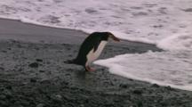 Royal Penguin (Eudyptes Schlegeli) Walking Into The Ocean On Macquarie Island