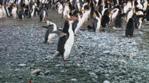Royal Penguin (Eudyptes Schlegeli) With Pebble In Its Beak Walking On The Beach Of Macquarie Island