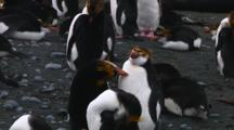 Royal Penguins (Eudyptes Schlegeli) Preening On Macquarie Island