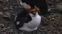 Royal Penguin (Eudyptes Schlegeli) On Its Nest On Macquarie Island