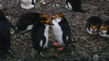 Royal Penguins (Eudyptes Schlegeli) On Their Nest On Macquarie Island