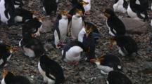 Royal Penguins (Eudyptes Schlegeli) Greeting On Their Nest On Macquarie Island