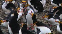 Royal Penguins (Eudyptes Schlegeli) Fighting In The Colony On Macquarie Island