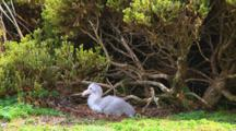Chick Of A Nothern Giant Petrel (Macronectes Halli) On Its Nest On Enderby Island