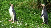 Yellow-Eyed Penguin Stock Footage