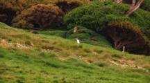 Yellow-Eyed Penguin (Megadyptes Antipodes) Walking On The Grass Of Enderby Island