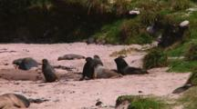 Hooker Or New Zealand Sea Lions (Phocarctos Hookeri) On The Beach Of Enderby Island