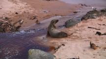 Hooker Or New Zealand Sea Lion (Phocarctos Hookeri) Walking On The Beach Of Enderby Island