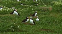 Group Of Puffins In Grassy Field
