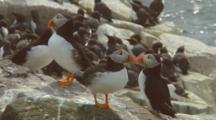 Atlantic Puffins Gather On Rocky Coast