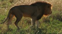 Male Lion Walks In Grass