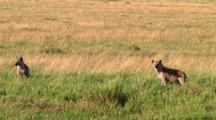 Spotted Hyena In Serengeti NP, Tanzania