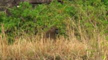 Olive Baboon In The Grass In Serengeti Np, Tanzania