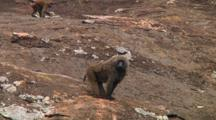 Olive Baboon Sitting On A Kopje In Serengeti NP, Tanzania