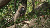 Olive Baboon In The Bush In Serengeti NP, Tanzania