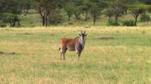 Eland In Serengeti NP, Tanzania