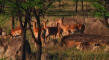 Impala In Serengeti NP, Tanzania