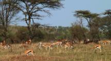 Thomson'S Gazelle In Serengeti NP, Tanzania