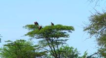 Vultures Roost High In Tree