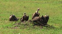 Vultures In Serengeti NP, Tanzania