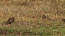 Banded Mongoose In Serengeti Np, Tanzania