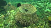 Humphead Bannerfish In Large Barrel Sponge In The Bali Sea
