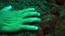 Durban Hinge-Beak Prawns Cleaning Fingers Of Diver Hand