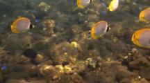 Panda Butterflyfish In The Bali Sea