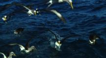 Slow Motion Of Chatham Island Albatross (Thalassarche Eremita) Flying  Near The Chatham Islands