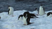 Chinstrap Penguin Preening On Antarctica