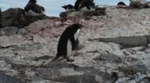 Adelie Penguin Gathering Rocks As Nesting Material