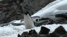Adelie Penguin Walking On Goudier Island, Antarctica