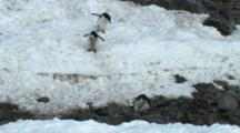 Chinstrap Penguins Walking Down A Steep Hill On Antarctica