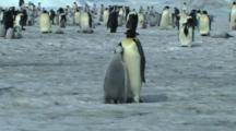 Emperor Penguin Chick Asking Its Parent For Food