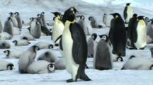 Emperor Penguin Walking On The Egde Of The Colony