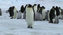 Emperor Penguin Walking On The Sea Ice Of Antarctica