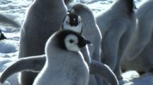 Close-Up Of An Emperor Penguin Chick Waiting For Its Parents