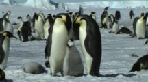 Emperor Penguin Family Near Snow Hill,Antarctica