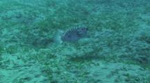 Blackspotted Pufferfish (Arothron Stellatus) Swimming In The Red Sea