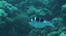 Scissortail Sergeant (Abudefduf Sexfasciatus) Swimming In The Red Sea