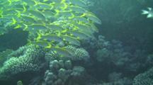 Shoal Of Ehrenbergs Snappers (Lutjanus Ehrenbergii) Swimming In The Red Sea