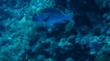 One Bigeye Emperor (Monotaxis Grandoculis) Swimming