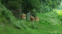 Fallow Deer Grazing
