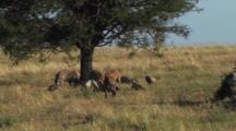 Spotted Hyena With The Remains Of A Lion Kill