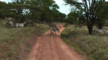 Zebra Walking Across A Dirt Road In Tarangire NP
