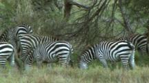 Herd Of Zebra Grazing In Tarangire NP