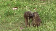 Baboons Feeding On The Grass In Lake Manyara NP