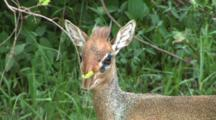 Close-Up Of A Dik Dik Grazing In Lake Manyara NP