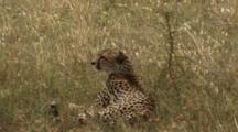 Cheetah Resting In The Grass In The Serengeti